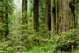 Relict sequoia trees in Redwood National park poster