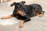 Doberman Pinscher Pet Dog poster
