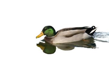 Male Mallard Duck isolated