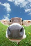 Kühe - Fine Art prints