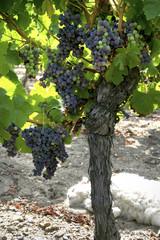 veraison d'un cep de vigne