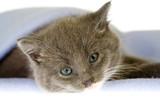 grey kitten on a blue blanket poster