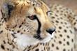 Plano corto de un guepardo