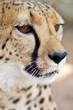 Mirada de guepardo