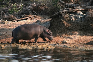 Hippo on waterside