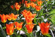 baclit orange and red tulips
