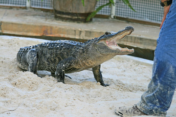alligator in a park