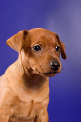 Pinscher puppy on a blue background