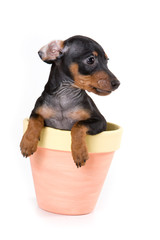Black pinscher puppy