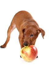 Brown pinscher puppy