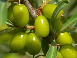 Green unripe sea-buckthorn berries poster