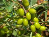 Branch with unripe sea buckthorn berries poster
