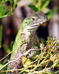 A Spiny-Tailed Iguana