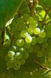 grappe de raisin blanc