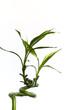 bambus-freigestellt auf weiss