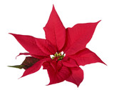 Christmas decoration poinsettia