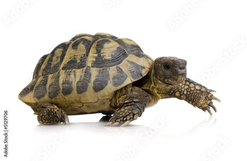 Fotobehang Schildpad Herman's Tortoise - Testudo hermanni