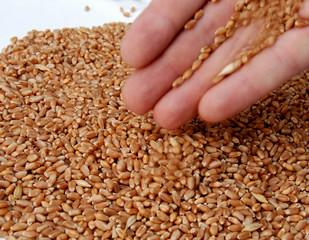 Wheat 17