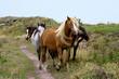 welsh ponies wild