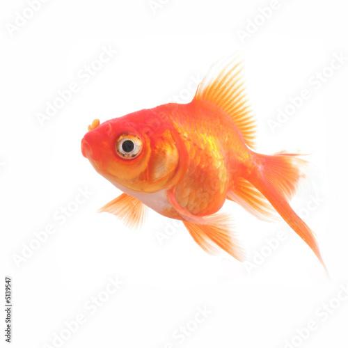 Poisson rouge photo libre de droits sur la banque d for Poisson rouge a acheter