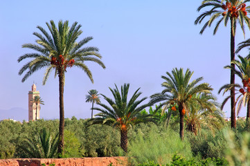 Morocco, Marrakech: palm trees