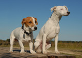deux jack russel terrier poster