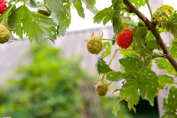 Cultivated garden raspberries. Ripe and green.