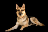 pure-bred german shepherd, studio shot poster