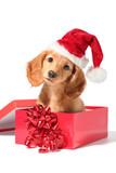 Santa puppy - Fine Art prints