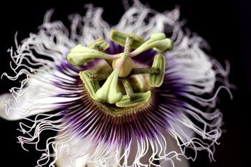 A passion flower showing the petals and stamens