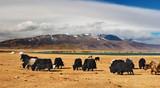 Grazing yaks in mongolian desert poster
