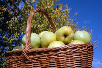 Basket with green apples in a garden on a background of the sky