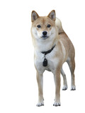 typical rare dog breed Shiba Inu specimen with clipping path  poster