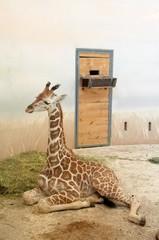 Young giraffe is lying on the floor in Prague zoo