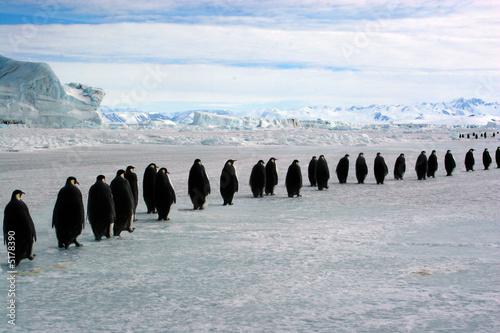Staande foto Pinguin Longue marche des Empereurs (Antarctique)