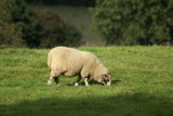 sheep. sheep in field/ farm poster