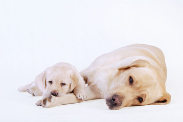 Labrador puppy and his mother