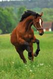 Pferd auf Weide 1 - Fine Art prints