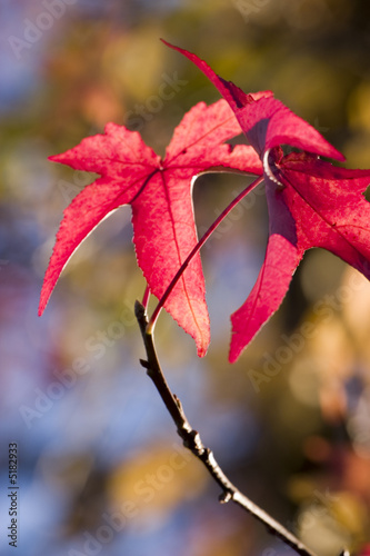 Beautiful red maple autmn leaves