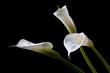Quadro three calla lilies