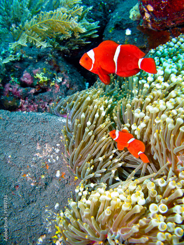 Poissons clown rouges de edouarrr photo libre de droits for Poisson clown achat