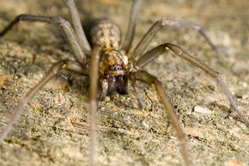 Wolf spider perched on wood and ready to attack
