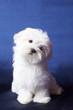roleta: The Maltese lap dog