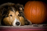 Sheltie dog with pumpkin closeup 2