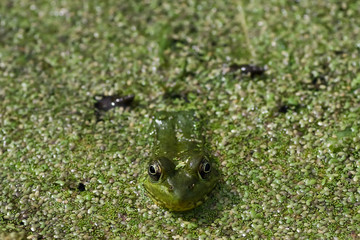 Green Frog in swamp pond closeup1