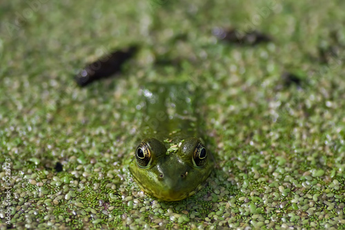 Green Frog in swamp pond closeup2