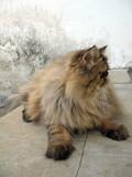 Portrait of brown persian tabby cat  poster