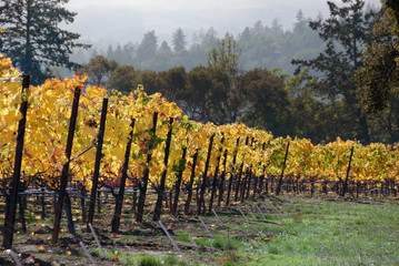 Fall Vineyard