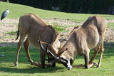 Gemsbok antelopes fighting on knees poster