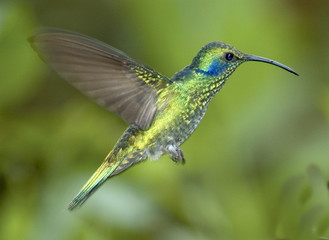 Hummingbird-Green violet ear